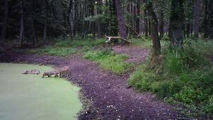 Wilki też odwiedziły leśne spa.