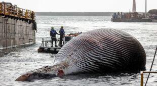 Ogromny martwy wieloryb zauważony u wybrzeży Włoch