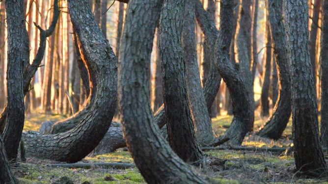 """Niezwykły las """"tańczących"""" sosen. Kto je tak powyginał?"""