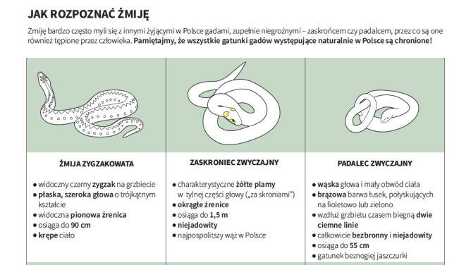 Jak rozpoznać żmiję (Maria Samczuk, PAP, lasy.gov.pl, ekologia.pl)
