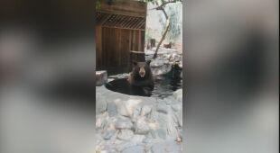 Niedźwiedź schłodził się w wodzie